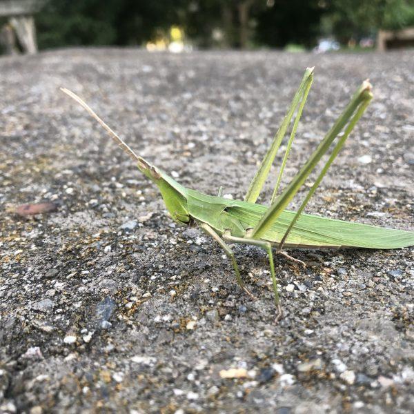 ショウリョウバッタ Oriental longheaded locust